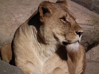 Proud Lion