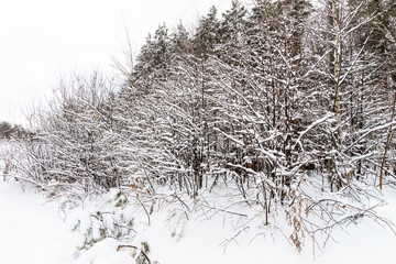 Branches covered with frost at winter season at pine forest.