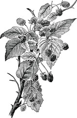 Vintage illustration raspberry