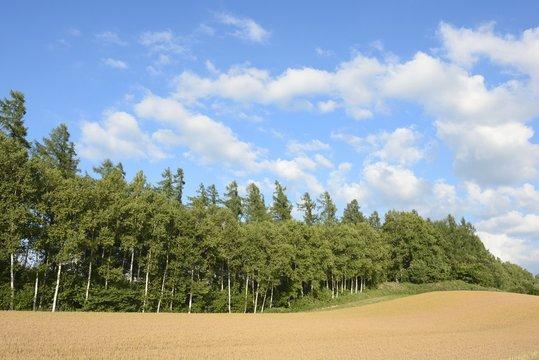 白樺林と小麦畑