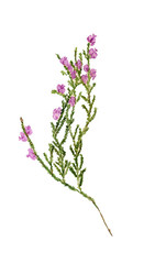 Twig of heather