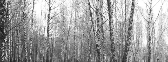 birch forest, black-white photo, autumn landscape, beautiful panorama