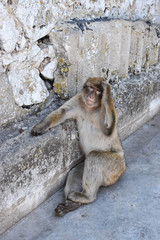Barbary ape (macaque) on Gibraltar rock.