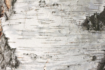 Photo sur Toile Les Textures birch bark texture natural background paper close-up / birch tree wood texture / birch tree bark / pattern of birch bark / birch bark closeup / natural birch bark background / birch bark