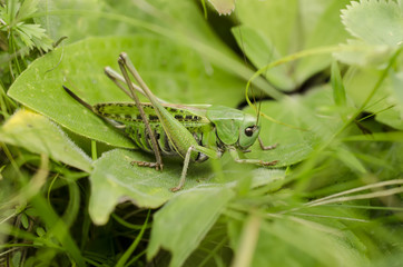 Grasshopper in the grass close-up