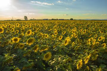 sunflower. sunflower field sun weather