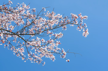 Blossoming at springtime branch of cherry tree