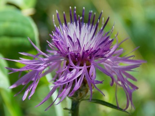 Good purple flower, It's a weed flower, it is very luxuriously spread their petals, Photos can be used for commercial purposes and in advertising,