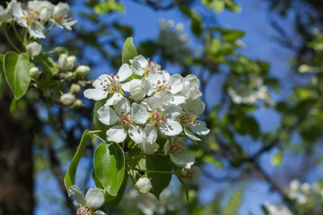springtime pear tree blossoms