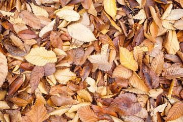 brown fallen maple leaves in park