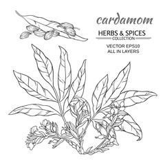 cardamom vector set