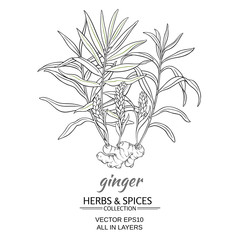 ginger vector illustration