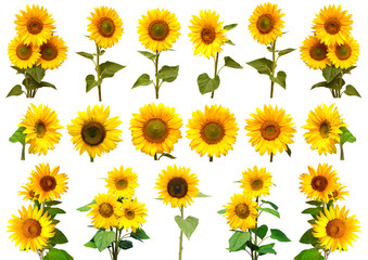 Sunflowers collection on the white background.