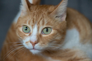 Green-eyed red cat looks at the camera