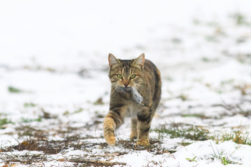 beautiful tabby cat walks in the snow with a gray mouse in the teeth