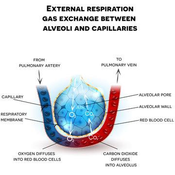 Alveoli anatomy, external respiration gas exchange between alveoli and capillaries, with detailed description