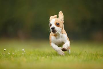 Chihuahua Dackel Mix rennt