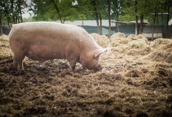 Pig is grazing on the ground in a sanctuary for freed animal