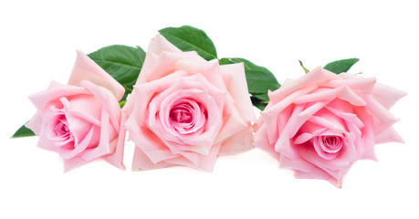 tree pink blooming rose buds with green leaves isolated on white background