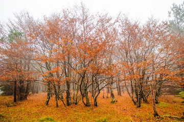 Autumn tree in the forest with foggy / tree in during autumn