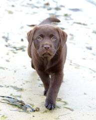 Labrador, baby