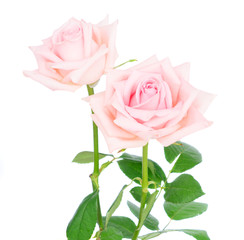 Pair of pink blooming fresh rose buds with green leaves isolated on white background