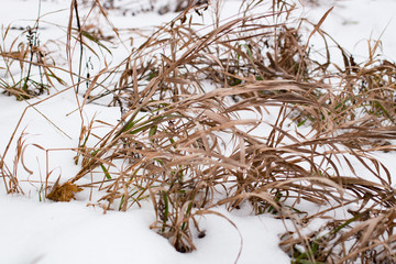 Dry grass on the snow in Russia