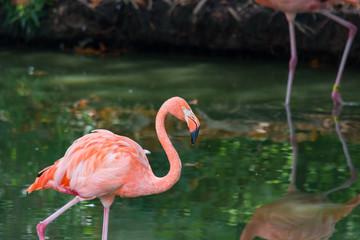 Beautiful Pink Flamingo.  Exotic birds.  Nature.