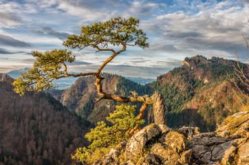 Dwarf pine tree on Sokolica peak, Pieniny, Poland Wall mural