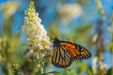 A brilliant Monarch Butterfly gathering nectar from the flower of a Butterfly Bush.  Migratory insect.