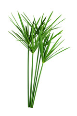 papyrus green plant isolated on white background