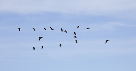 Flying wild geese in sky