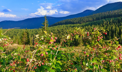 Wild raspberries and summer Carpathians.