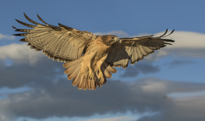 Red-Tail Returning - A well trained red-tailed hawk returns to its perch when summoned just after sunrise. Fotoväggar