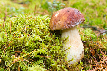 Porcini mushroom growing from moss