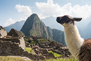 Garden Poster South America Country Llama in the ancient city of Machu Picchu, Peru. Overlooking ruins of the Inca citadel in the Andes Mountains and the river valley below.