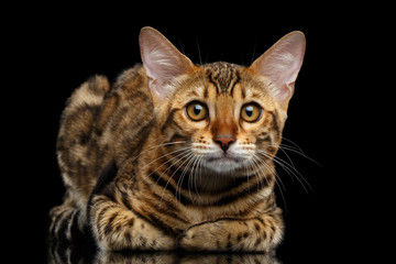 Adorable Bengal kitten Lying and Looking Curious in Camera on isolated Black Background with reflection, Front view, Funny ears