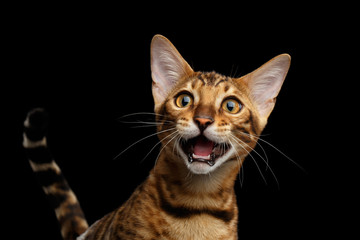 Close-up Portrait of Adorable breed Bengal kitten in front view, Surprised Meowing isolated on Black Background