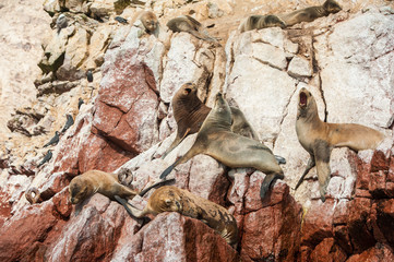 Group of fur seals sunbathing on the red cliffs. Isle of Ballestas, National Wildlife Preserve near Paracas, Peru.