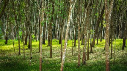 rubber tree , rubber plantation