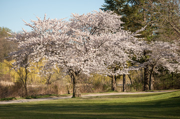 Japanese cherry blossom trees in the morning light. Spring sunrise in High Park, Toronto
