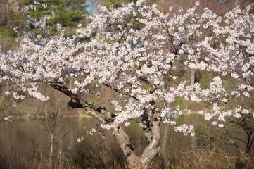 Japanese cherry blossom trees in the morning light. Spring sunrise in High Park, Toronto