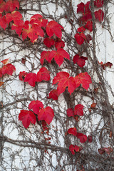 Autumn Ivy Leaves