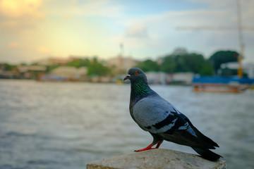 Pigeons near water , birds, blue birds in the way