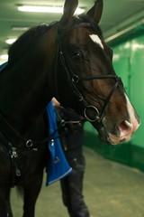 closeup portrait of a horse enters the manege