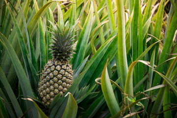 Pineapple tropical fruit, Planting to increase productivity in the rubber plantations