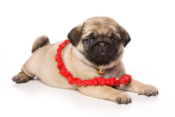 Pug puppy and red beads (isolated on white)