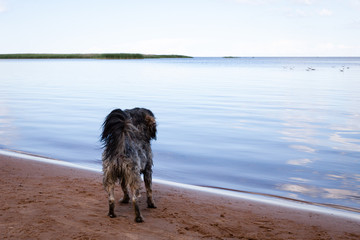 The dog stands on the shore of lake