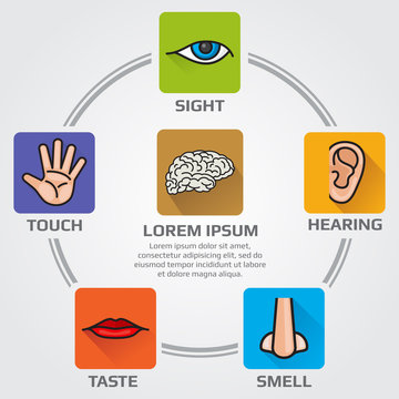 Five human senses smell, sight, hearing, taste, sensory vector infographics with nose, hand, mouth, eye, ear  icons