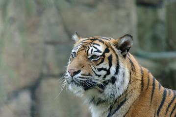 close up portrait of tiger